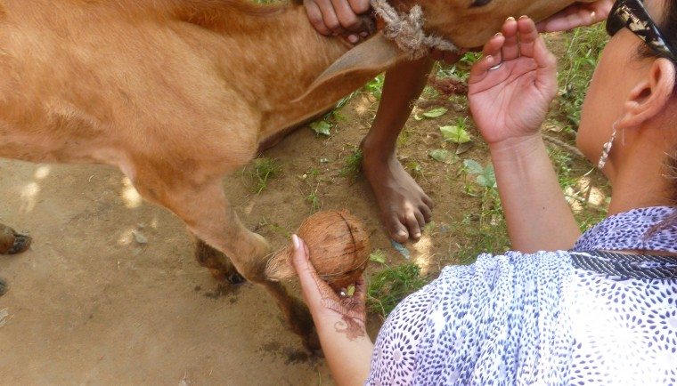 Baby Calf in India